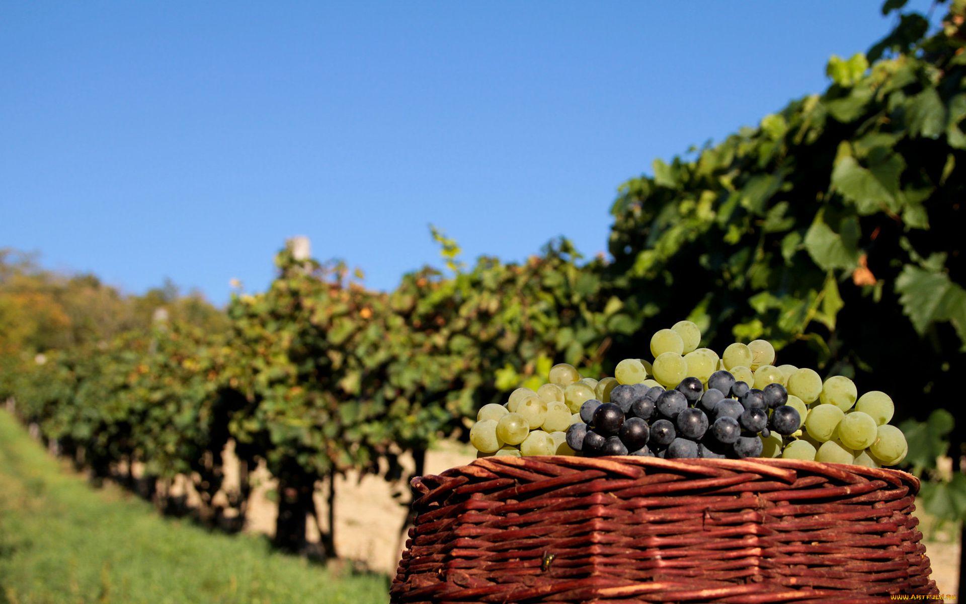 Картинки с корзинами винограда
